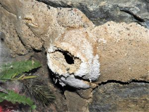 Mice infestation where mice chewed an entry hole through a stone foundation.