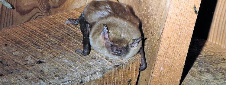 Bats In Attic Of A Bat House