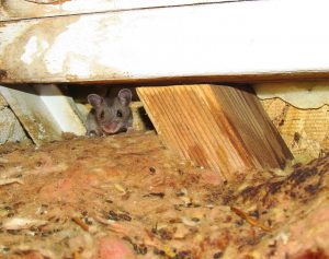 Mouse infestation where structural wood framing and insulation are soaked with urine adding to the mouse odor.