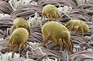 hydrated dust mites living healthy lives