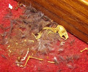 Contaminated residue of dead mice carcasses.